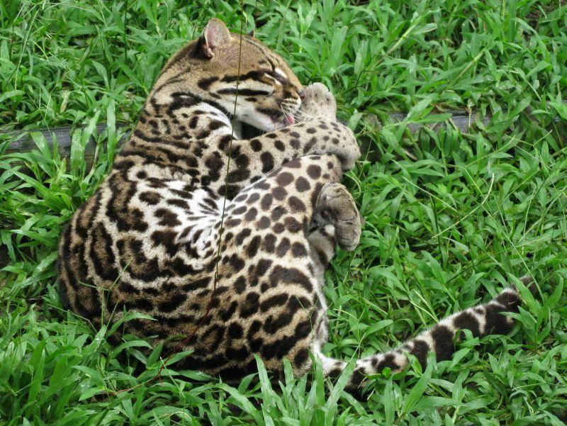 Auch Nebelparder machen Katzenwäsche! – Bild: Shutterstock / guentermanaus
