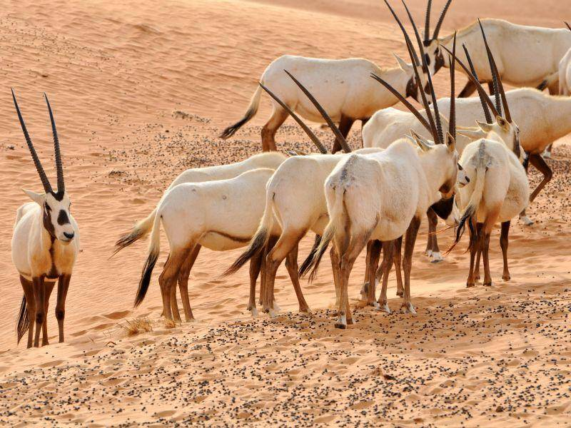 Oryxantilopen können lange ohne Wasser auskommen und haben eine besondere Wärmeregulation – Bild: Shutterstock / Ilona Ignatova