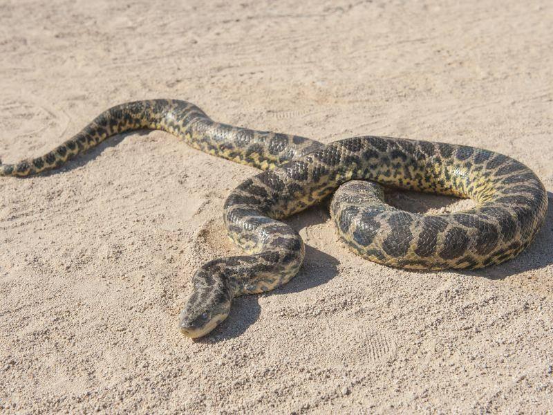 Mit ihrem hohen Wärmebedürfnis fühlt sich die Python in der Wüste wohl – Bild: Shutterstock / Paul Vinten