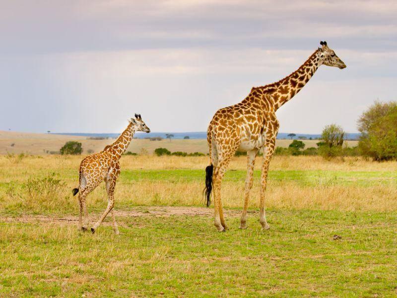 Giraffenmutter und ihr Junges: Ein ganz schöner Größenunterschied – Bild: Shutterstock / Wansfordphoto