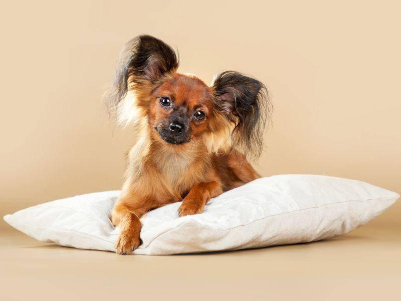 Der Russkiy Toy ist ein liebevoller, fröhlicher und anhänglicher Familienhund – Bild: Shutterstock / Ksenia Raykova