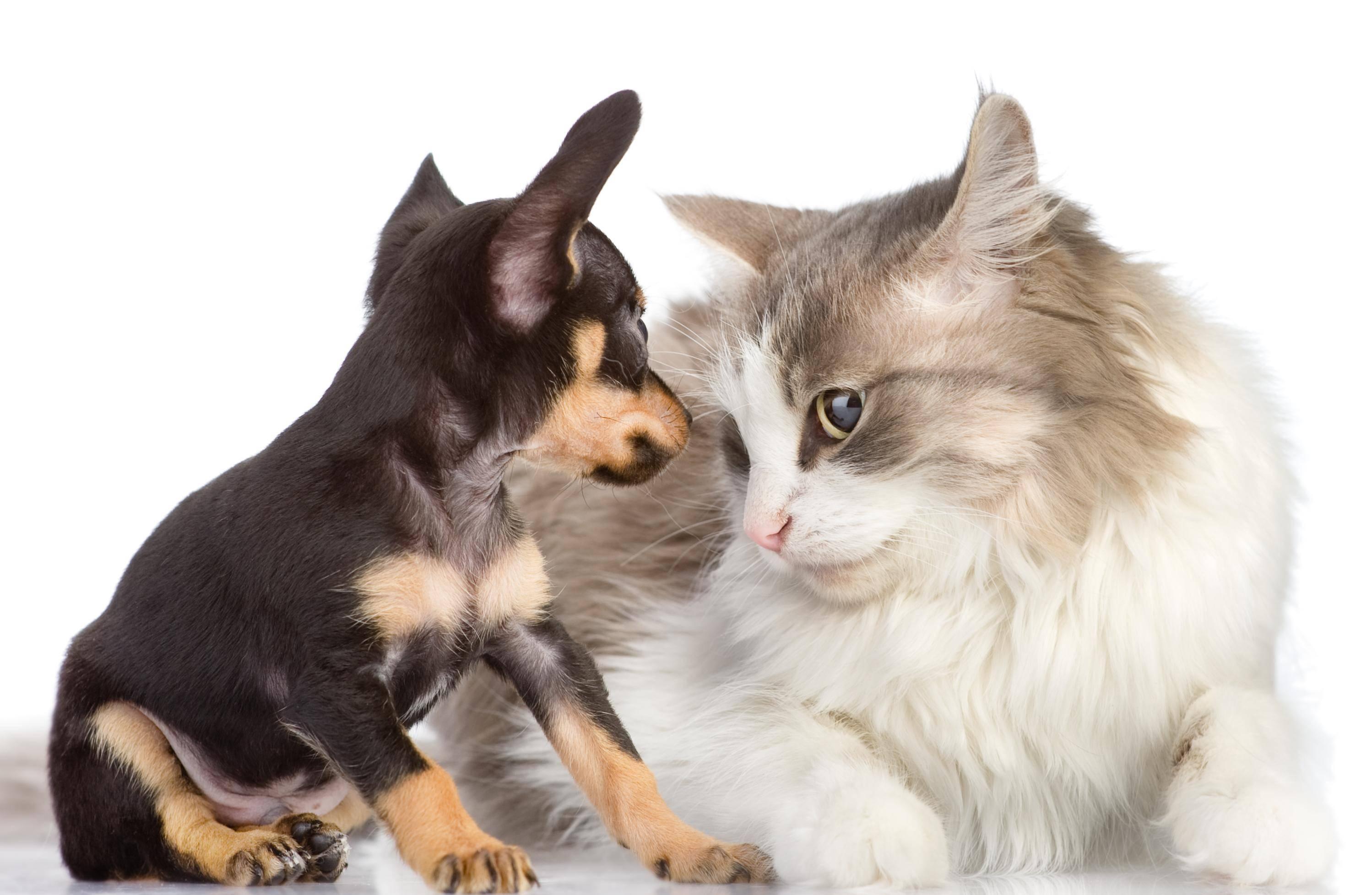 Und auch mit anderen Tieren kommt er meist gut klar – ein wahrer Goldschatz! – Bild: Shutterstock / Ermolaev Alexander