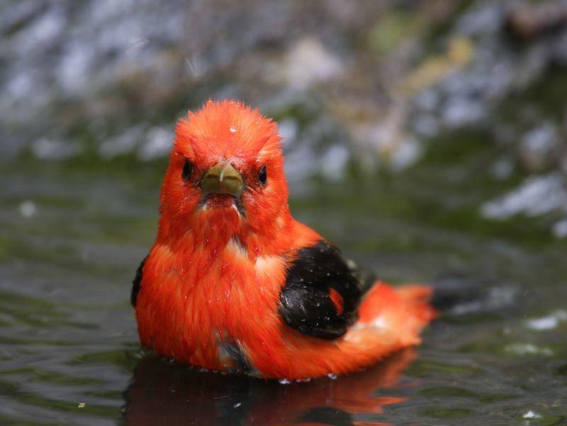 Eine kleine Abkühlung im Wasser – das ist schön! – Bild: Shutterstock / Scharlachtangare