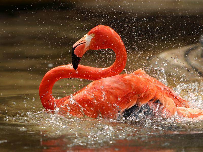 Flamingo im kühlen Nass: Erfrischender geht's nicht! – Bild: Shutterstock / Brad Thompson