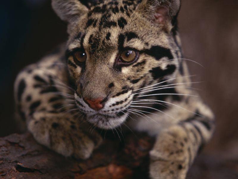 Die schönen Raubkatzen sind in verschiedenen südostasiatischen Gebieten zu Hause – Bild: Shutterstock / Volt Collection