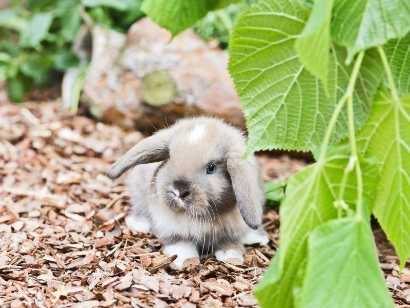 Klein, flauschig und mit Schlappohren: So süß sind Zwergwidder – Bild: Shutterstock / Claudia Paulussen