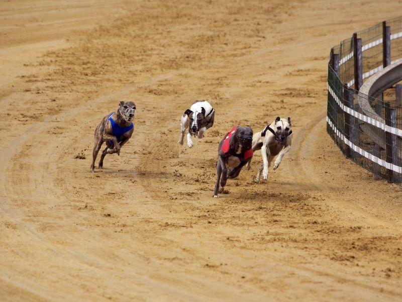 Whippets, Greyhounds und andere Windhunde zeigen beim Windhundrennen, wie schnell sie sind– Bild: Shutterstock / Oliver Hoffmann
