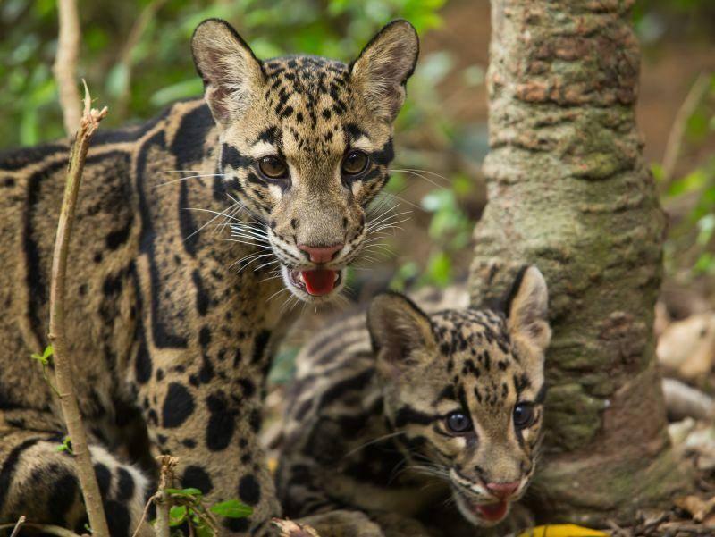 Zwei Jungtiere: Im Alter von etwas neun Monaten werden Nebelparder selbstständig – Bild: Shutterstock / Four Oaks