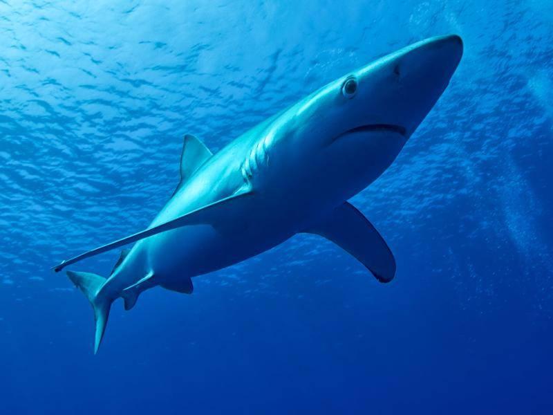 Faszierender Blick, lieber Blauhai! – Bild: Shutterstock / Pommeyrol Vincent