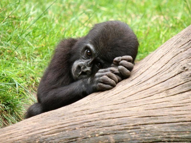 """""""Ich verstecke mich lieber!"""" Etwas schüchtern, das kleine Gorillababy! – Bild: Shutterstock / Edwin Butter"""