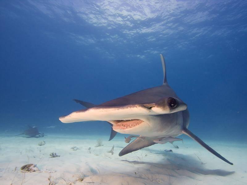 Der Hammerhai fällt hingegen durch seinen sehr breiten Kopf auf – Bild: Shutterstock / frantisekhojdysz