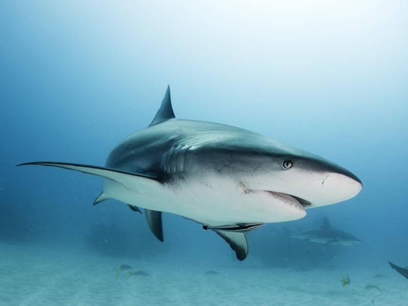 Und dieser karibische Riffhai weiß, wie man mit Blicken fesselt – Bild: Shutterstock / Shane Gross