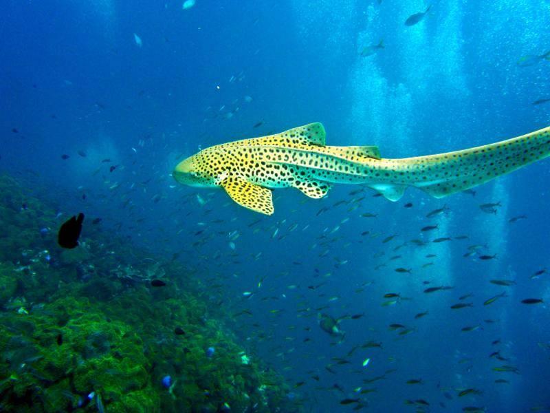 Der Leopardenhai ist aber auch eine Augenweide! – Bild: Shutterstock / Aleksandr Sadkov