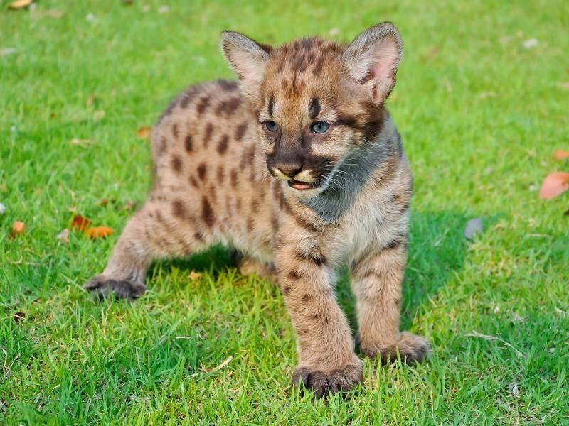 Neugeborene Pumas haben allerdings ein beiges Fell und weisen viele Flecken auf. Süß! – Bild: Shutterstock / MaZiKab