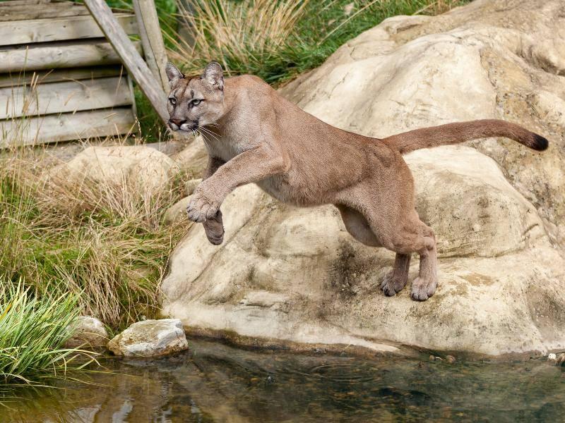 Außerdem besitzen Pumas einen ungefähr 60 bis 100 Zentimeter langen Schwanz – Bild: Shutterstock / Sarah Cheriton-Jones