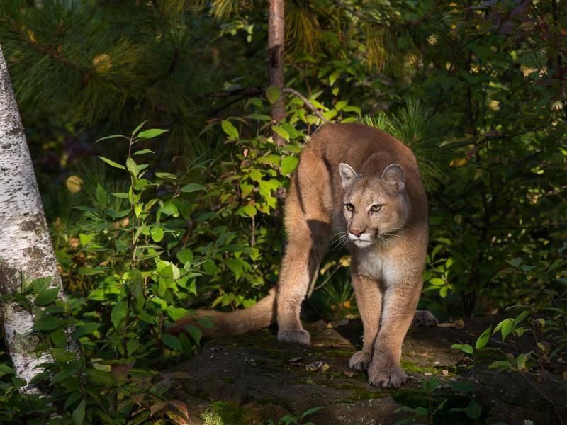 Diese edlen Geschöpfe sind in Teilen Nord- und Südamerikas zu finden – Bild: Shutterstock / Michelle Lalancette