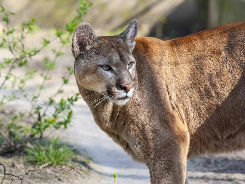 Der Puma ist auch unter den Namen Berglöwe, Silberlöwe oder Kuguar bekannt – Bild: Shutterstock / belizar