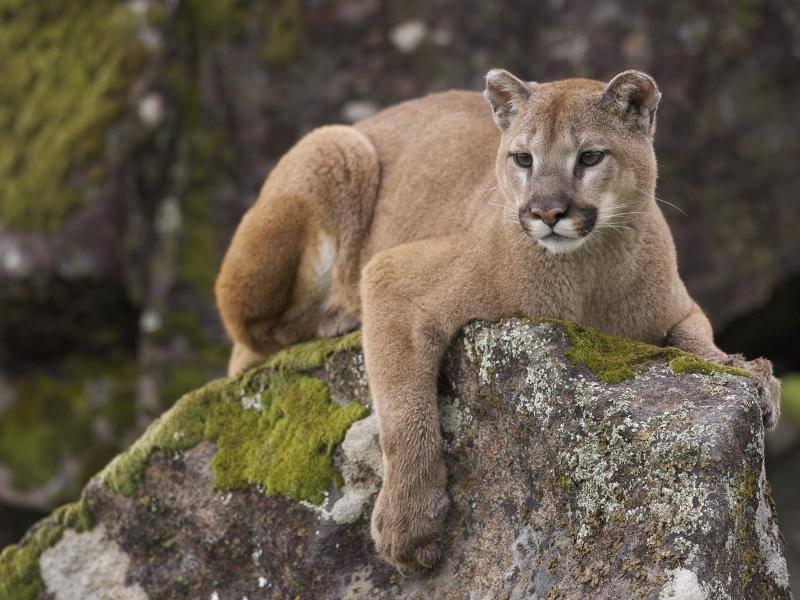 Das Fell von Pumas ist zudem sehr dicht – Bild: Shutterstock / visceralimage