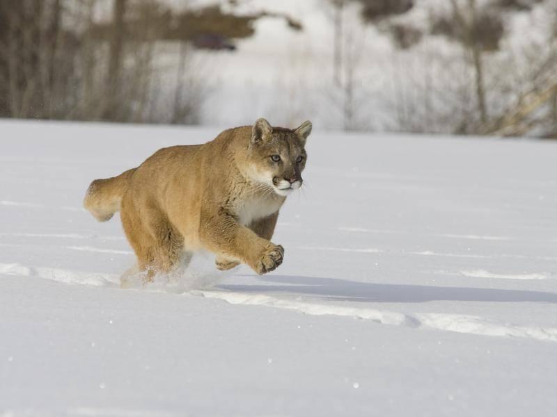 Pumas sind auch sehr flink und manchmal mit bis zu 60 kmh unterwegs – Bild: Shutterstock / S.R. Maglione