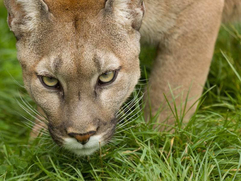 """""""Schau mir in die Augen, Puma!"""" Traumhaft! – Bild: Shutterstock / handsomepictures"""