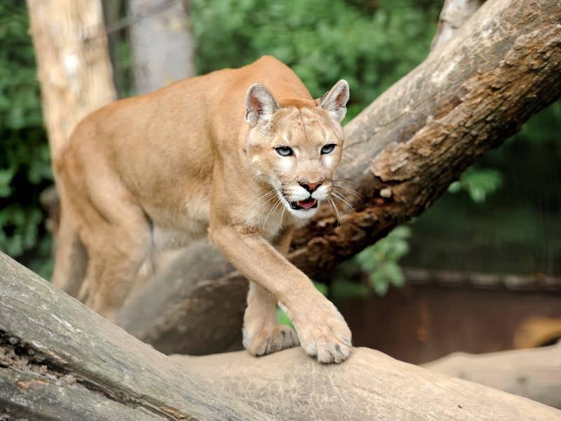Ganz schön groß: Die Schulterhöhe dieses Tieres beträgt circa 70 Zentimeter – Bild: Shutterstock / Volodymyr Burdiak
