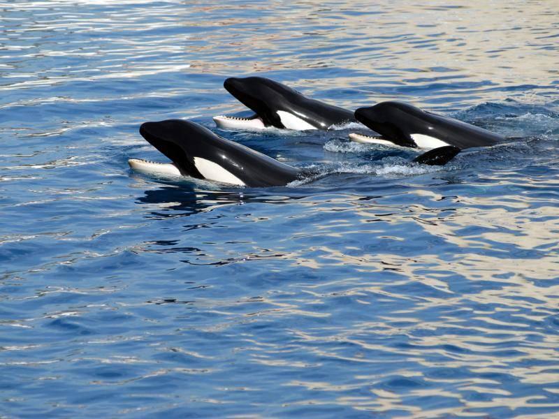 Kaum allein: Orcas sind die meiste Zeit in Gruppen anzutreffen – Bild: Shutterstock / Christian Musat
