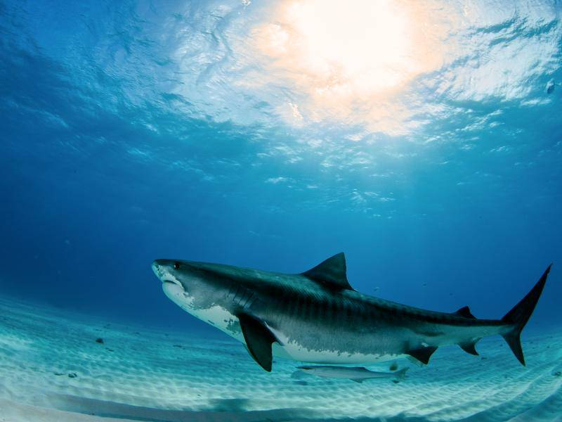 Aber auch der Tigerhai braucht sich mit seiner Länge von über fünf Metern, ... – Bild: Shutterstock / Michael Bogner