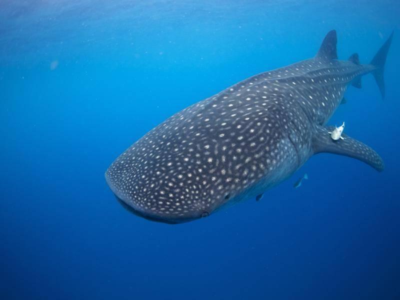 Und den Walhai, die größte Art der Haie, kann man einfach nicht übersehen – Bild: Shutterstock / Liquid Productions, LLC
