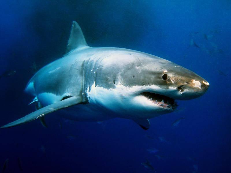 Besonders der Weiße Hai ist vielen Menschen durch den gleichnamigen Film bekannt – Bild: Shutterstock / Alexius Sutandio