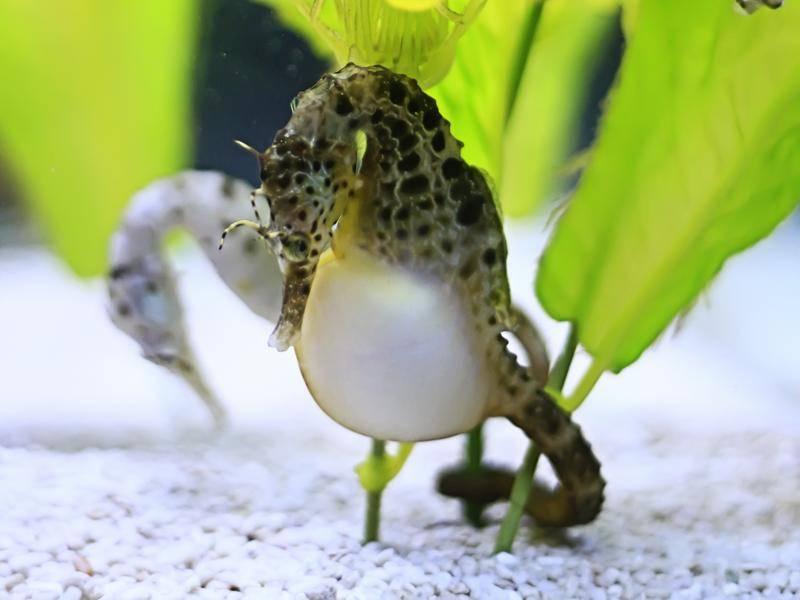 Das Weibchen legt Eier in die Bruttasche des Männchens, das die Seepferdchenbabys zur Welt bringt – Shutterstock / huxiaohua