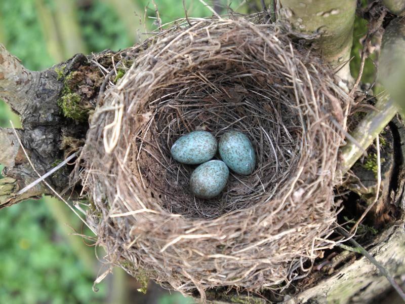 Ihre Eier brüten sie meist in Bäumen oder Gebüschen aus – Bild: Shutterstock / KOO