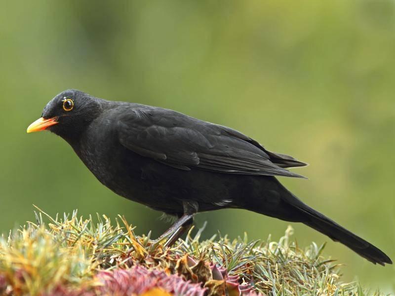 Das Gefieder der Männchen ist schwarz, das der Weibchen meist dunkelbraun – Bild: Shutterstock / Jausa