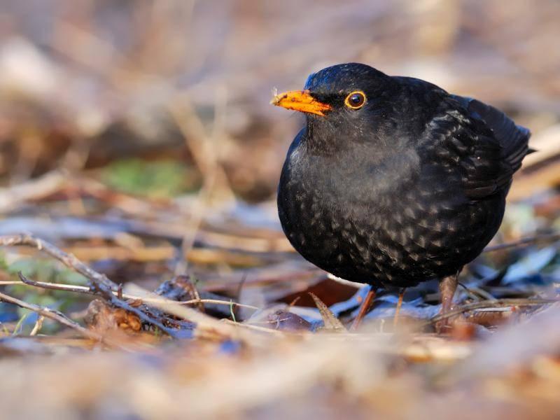 Diese Vogelart ist in Europa sehr weit verbreitet,... – Bild: Shutterstock / AlekseyKarpenko