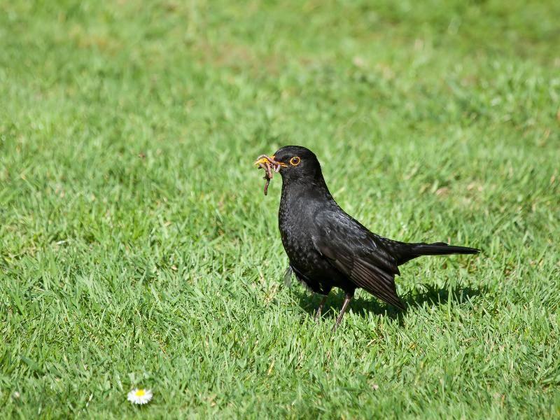 Ihre Nahrung, wie beispielsweise Würmer, suchen sich die Singvögel häufig am Boden – Bild: Shutterstock / Sue Robinson