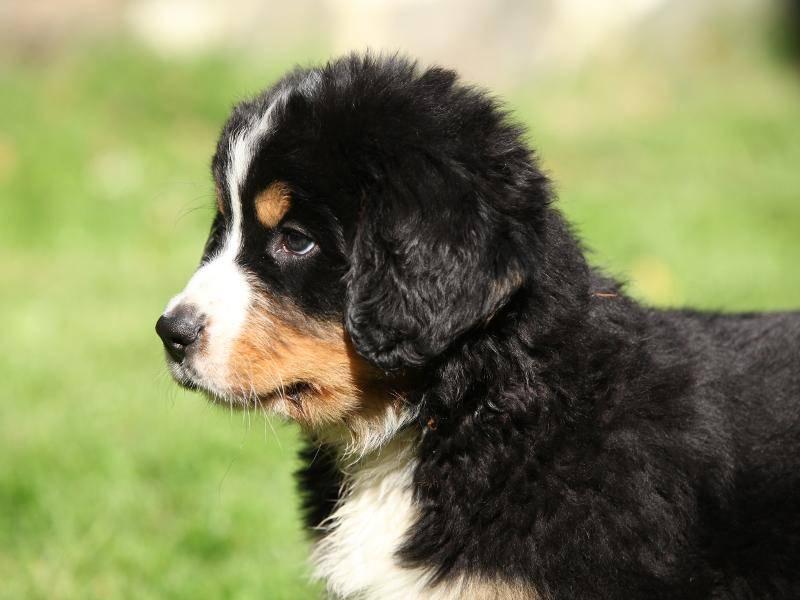 Knuffig, diese Berner Sennenhund-Welpen – Bild: Shutterstock / Zuzule
