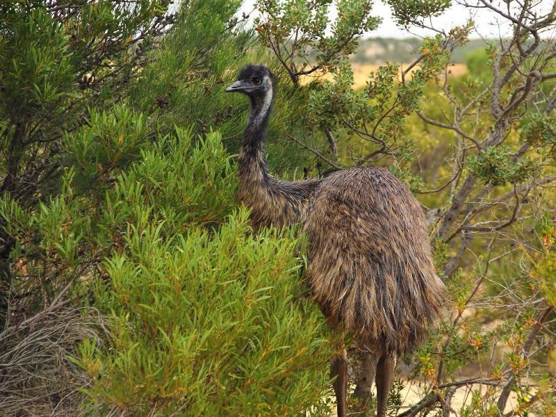 Diese Emu-Art kommuniziert mit Rufen, die einige Kilometer weit zu hören sind – Bild: Shutterstock / HunnyCloverz