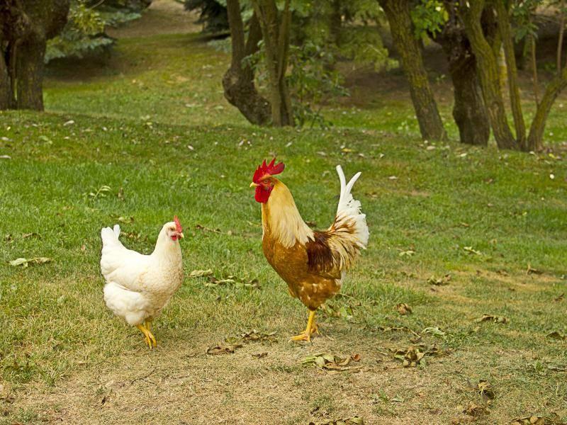 Haushühner wiegen 1,5 bis 5,5 Kilogramm, die Hähne sind etwas schwerer – Bild: Shutterstock / Ingrid Prats