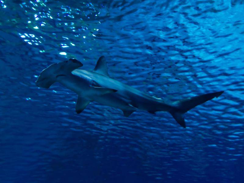 Interessant: Bisher sind neun Arten der Hammerhaie bekannt! – Bild: Shutterstock / Piotr Wawrzyniuk