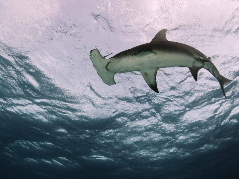 Dieser Hai hat seinen Namen aufgrund seines hammerähnlichen Kopfes – Bild: Shutterstock / Shane Gross