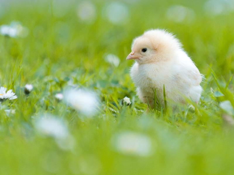 Und so sehen die Hühner aus, wenn sie noch ganz klein sind. Herzallerliebst! – Bild: Shutterstock / lostbear