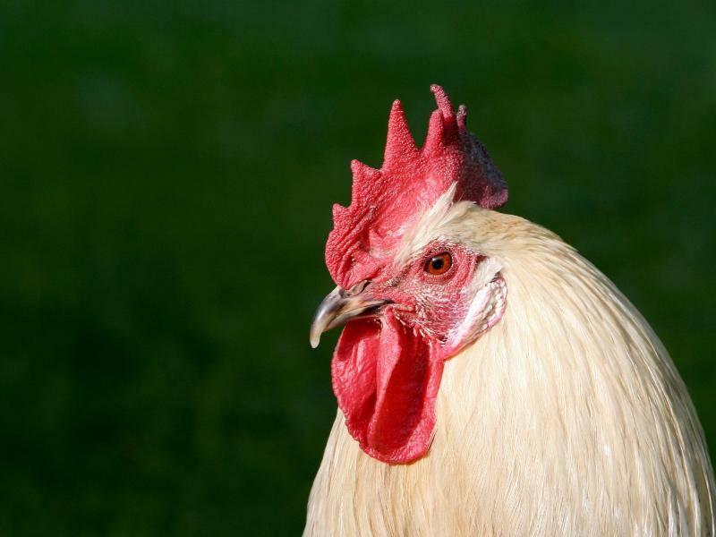 """""""'Kikeriki!' Ich verrate euch, was es über Hühner und Hähne zu wissen gibt!"""" – Bild: Shutterstock / Soili Jussila"""