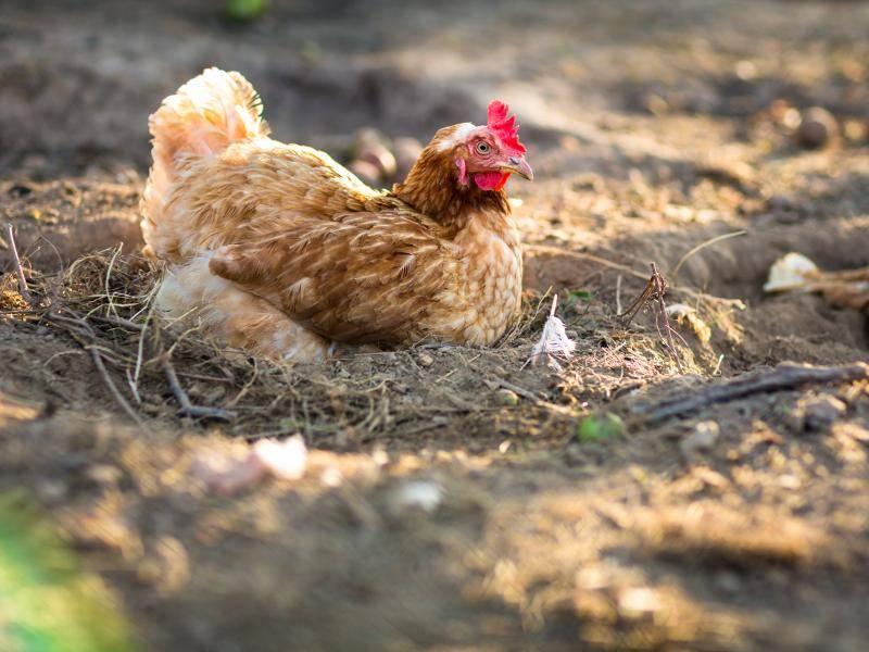 Erstaunlich: Legehühner legen rund 300 Eier pro Jahr – Bild: Shutterstock / l i g h t p o e t