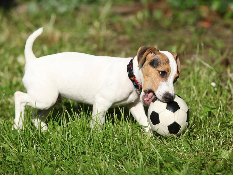 """""""Irgendwie muss ich diesen Ball doch in meine Schnauze bekommen!"""" – Bild: Shutterstock / Zuzule"""