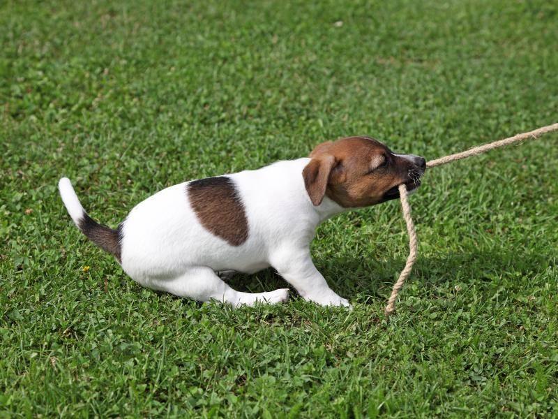 """""""Grrr, ich gebe dir mein Seil nicht zum Spielen!"""" – Bild: Shutterstock / Philip Lange"""