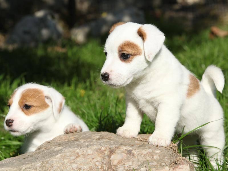 Was haben diese knuffigen Jack Russell Terrier-Welpen nur entdeckt? – Bild: Shutterstock / Zuzule