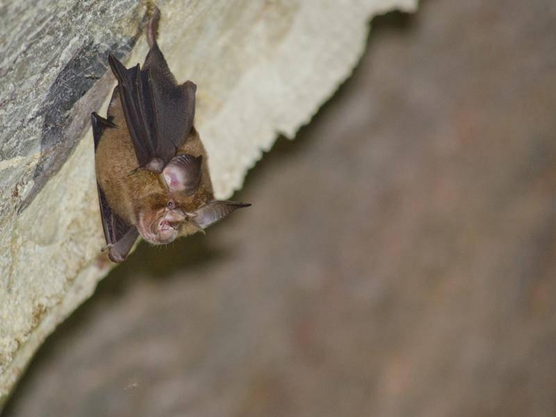 Wenn Gefahr droht, lassen sich Fledermäuse einfach fallen – Shutterstock / Visanuwit thongon