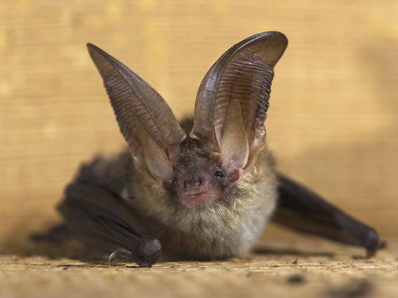 """""""Fledermaus, warum hast du so große Ohren?"""" – Shutterstock / KOO"""