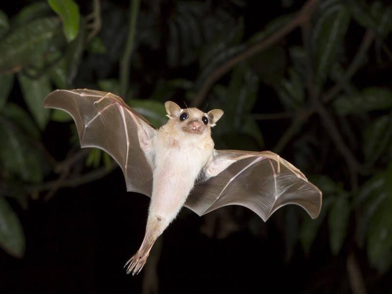 Huuuiiiii! Mit ihren großen Kulleraugen ist diese Fledermaus einfach nur zuckersüß! – Shutterstock / Ivan Kuzmin