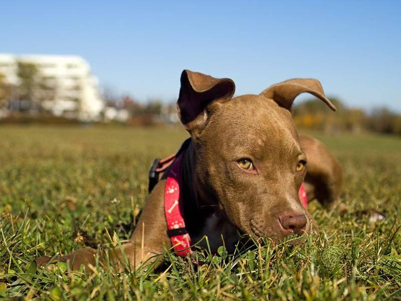 Na, was hast du vor, frecher kleiner Pitbull? – Shutterstock / A. Laengauer
