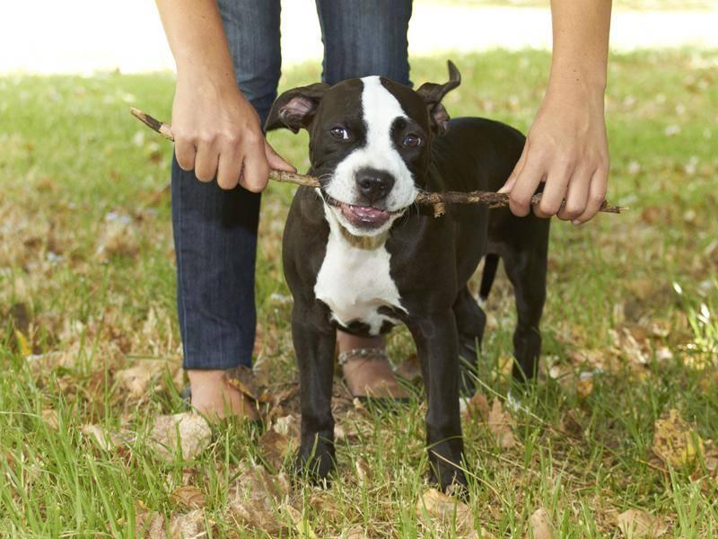 Pitbulls sind sehr verspielt und brauchen viel Beschäftigung – Shutterstock / dogboxstudio